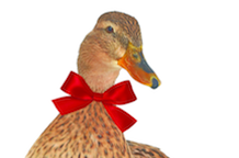 A Christmas quacker