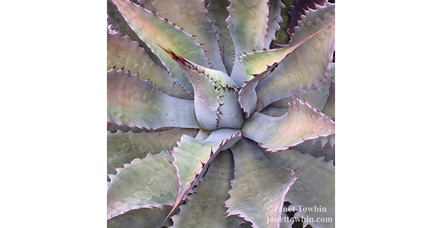 Desert Beauty Agave