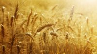 Wheat prices rise as world supply less ample lower Canadian crop