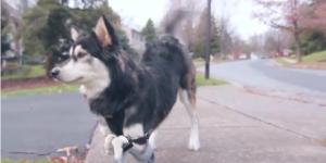 3D Printer Helps Disabled Dog Walk