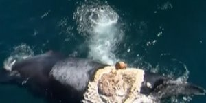 Man Surfs Dead Whale Surrounded by Sharks: Watch