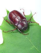 What Does a June Bug Do?