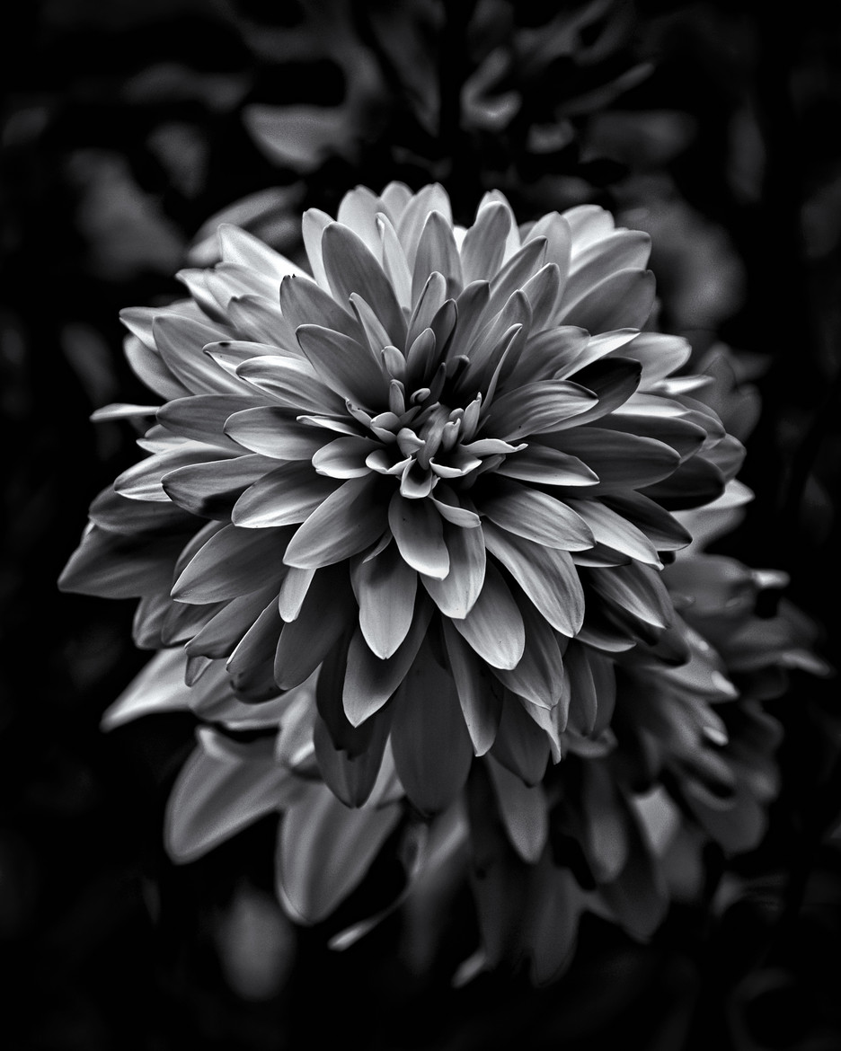 Wilted Flower Black And White Black And White Wilted