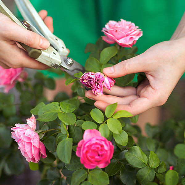 Pinching & Deadheading for More Blooms