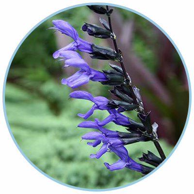 Black & Blue Salvia