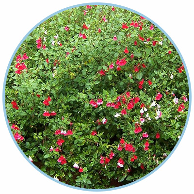 Hot Lips Salvia
