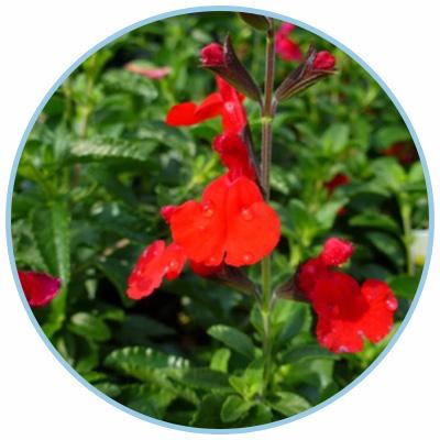 Radio Red Ornamental Garden Sage
