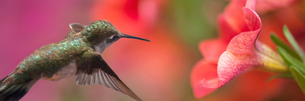 6 Plants That Attract Hummingbirds