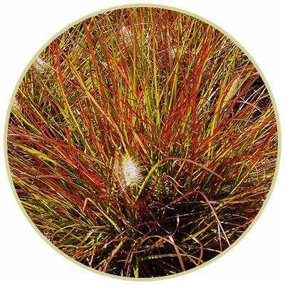 Fountain Grass 'Burgundy Bunny'
