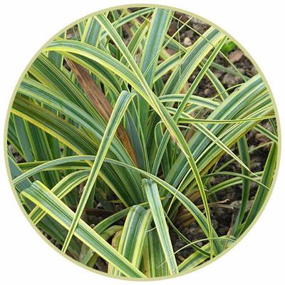 Tataki Grass