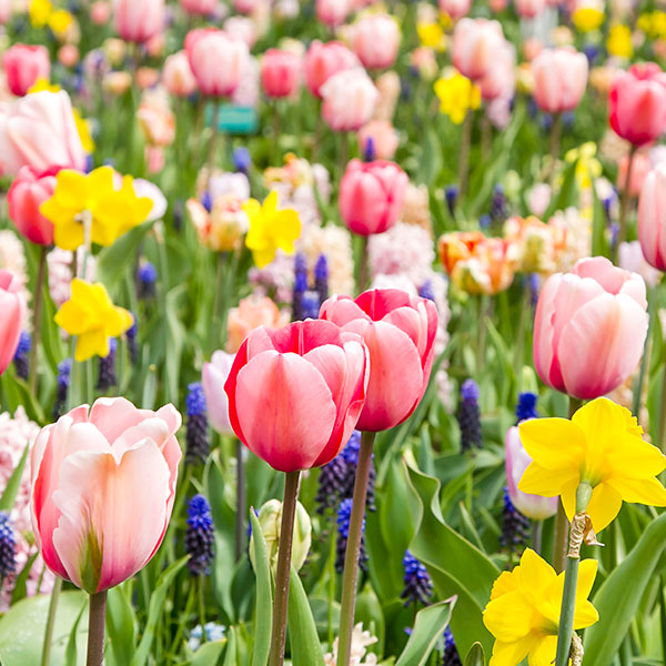 Designing with Tulips