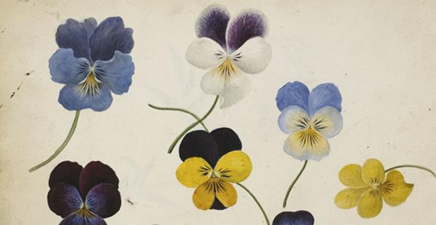 James Griffiths, John H. Griffiths, Pansies (detail), after 1836