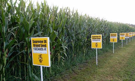 gmo, corn field