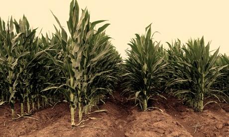gmo, corn