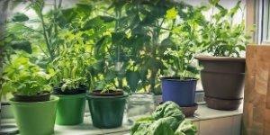 herbs, windowsil