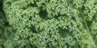 Nutritious and Delicious Kale: Many Benefits, Many Uses