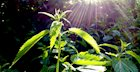 Nettle: The Allergy Symptom Wonder Plant with a Secret Sting