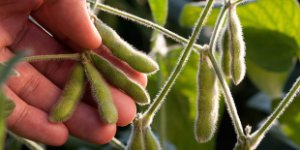 soybeans, hand, soy
