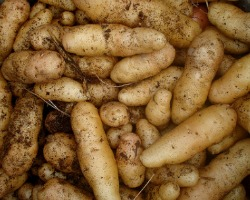 he USDA has blocked participants in the Women, Infants and Children (WIC) program from using WIC funding to purchase white potatoes. Photo by Christian Guthier via Flickr.com.
