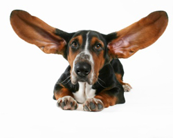 Treat your dog's eye and ear infections naturally. pet, health, ear infection, eye infection, natural, holistic, natural treatments