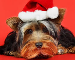 Keep your pets safe during the holidays by removing temptation and keeping a close eye on them. holidays, Christmas, pets, health, trinkets, new dog, new cat, puppy, kitten, toxins, poinsettia, chocolate, turkey, bones, gift