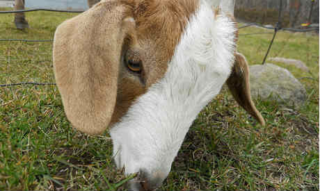 Why choose a goat as a lawn mower? It's an eco-friendly solutiion