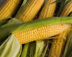 Corn is among the top genetically modified foods. genetically modified, GM foods, genetically modified foods, foods, genetically modified organisms, GMO, GMOs, health, GM crops, GM corn, Bt corn, GM soy, GM cotton, corn, cotton, soy, environment, photo