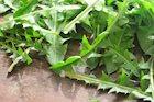 Dandelion Detox Salad