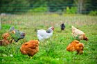 The Fast Foods Industry is Ditching Antibiotic Laced Chickens