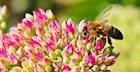 The Why of Disappearing Bees and How You Can Help