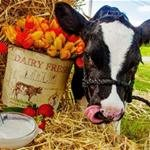 "Have You ""Herd""? Not Just Your Ordinary Harvest Festival"
