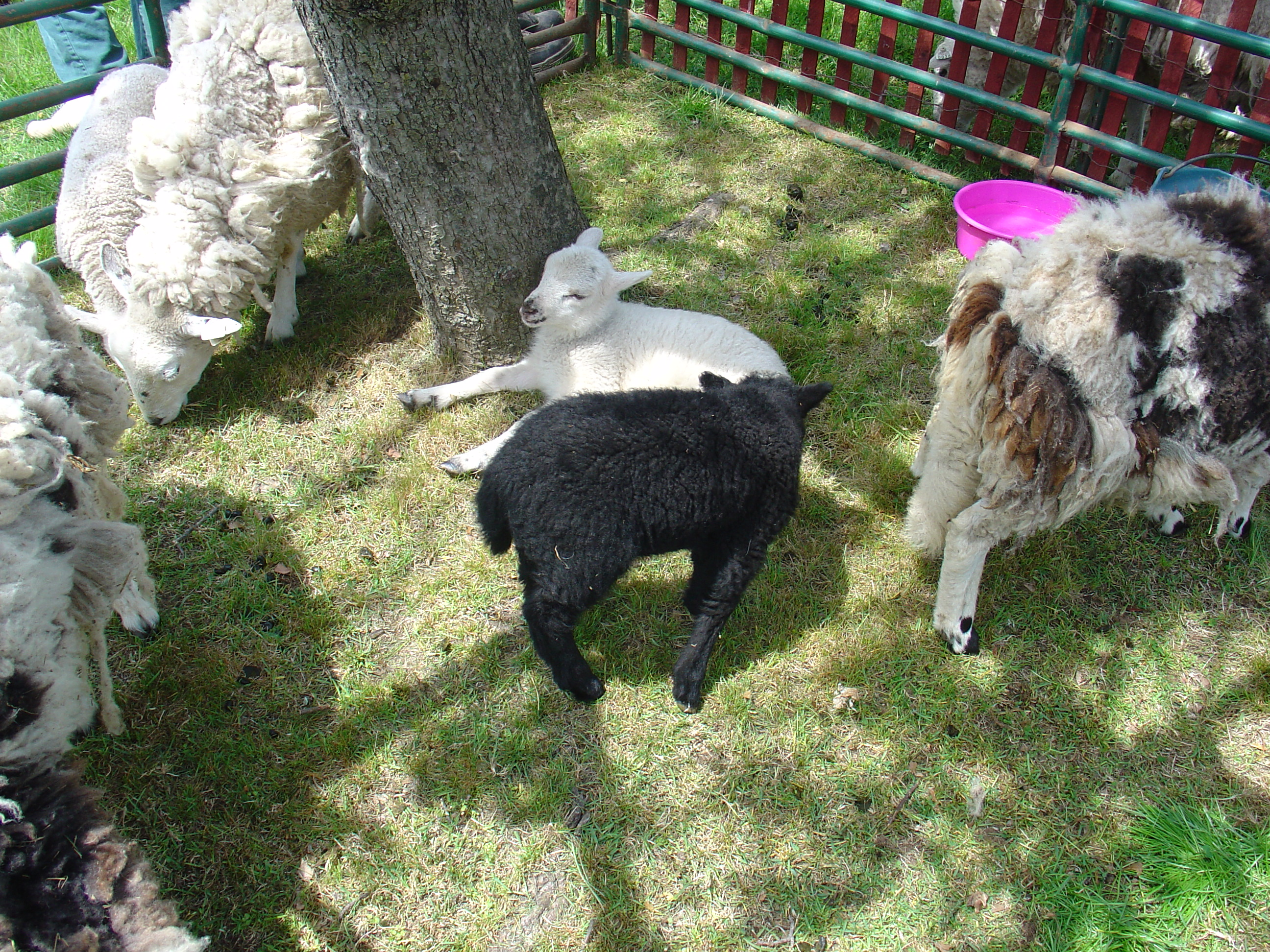 Sheep to Shawl Festival at the Miller-Cory House Museum