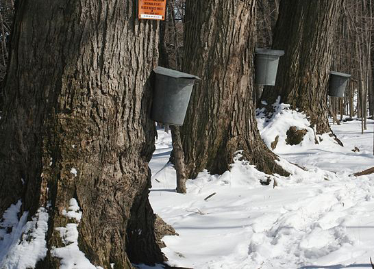 Family Maple Sugaring