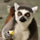 Walk with lemurs this summer at the Calgary Zoo