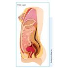 Stages of fetal development