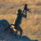 OMG this monkey recreating the iconic Lion King scene is everything