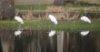 Wood Stork Triple