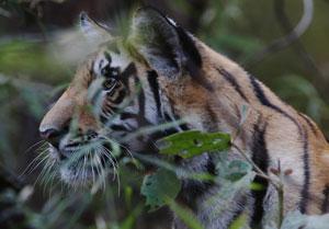 Tiger AF