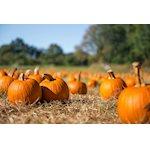 Pumpkin Patch at Meandering Way Farm