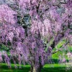 Cherry Blossoms, Cherry Festivals and Spectacular Blooms