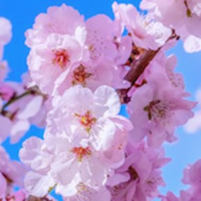 Best Cherry Blossom Festivals in NJ and Beyond