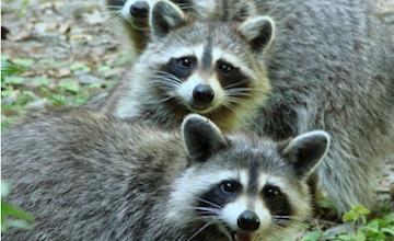 Oaks & Acorns - Raccoons   Reeves-Reed Arboretum