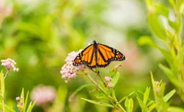 Monarch Migration at The Watershed Institute