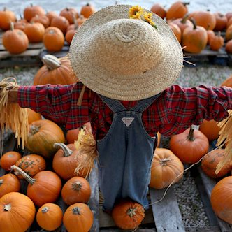 Scarecrow overlooking pumpkins on a field